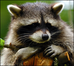 raccoon removal Arlington
